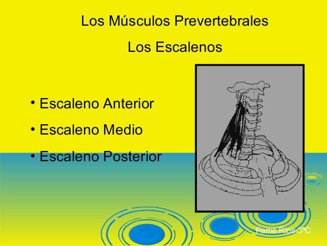 Los Músculos Prevertebrales              Los Escalenos• Escaleno Anterior• Escaleno Medio• Escaleno Posterior             ...