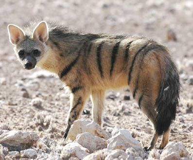 """Aardwolf. The aardwolf is a small, insectivorous mammal, native to East Africa and Southern Africa. Its name means """"earth wolf"""" in the Afrikaans / Dutch language. It is also called """"maanhaar jackal"""". The aardwolf is in the same family as the hyenas."""