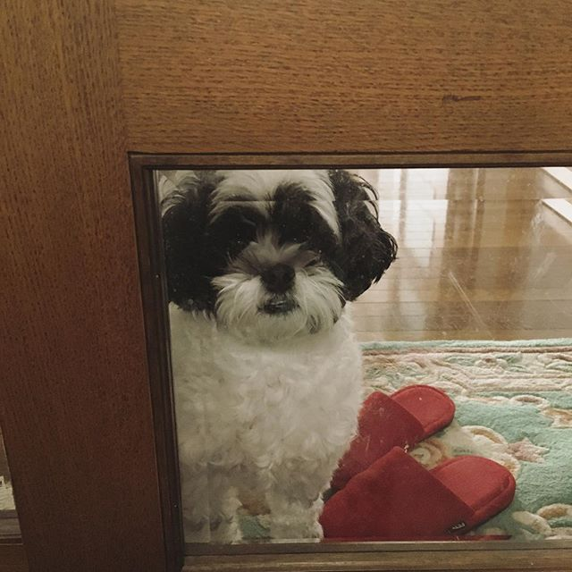 *** 今日のお見送り犬🐶 1名足りません😑笑 * #dog#shihtzu#toypoodle#mix#nana#mona#シーズー#トイプードル#ミックス#シープー#ナナ#モナ#イヌ#ワンコ#わんこ#なな#もな#犬#いぬ#愛犬#ななもな#姉妹#もこもこ#癒し#🐶#🐩#🐾#お見送り犬#やっぱり歯でちゃうななちゃん😂