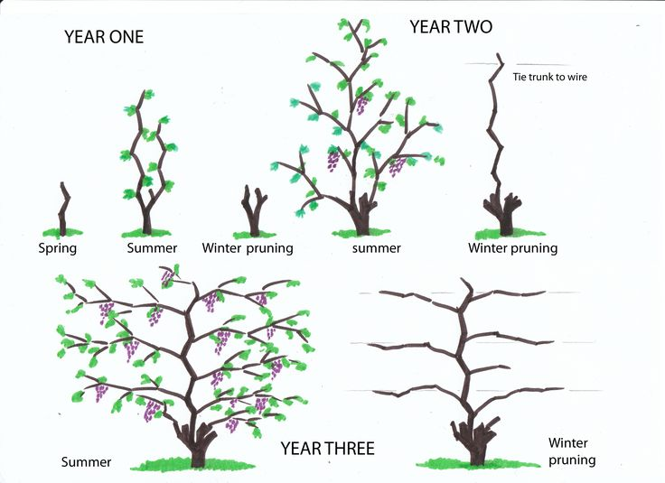 herb labels for the garden | Winter pruning of vines from infancy to the fourth year