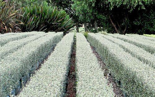 Corokia 'Geenty'sGhost' (PVR) - summer, showing its seasonal silver splendor.  Plant instead of teucrium.