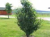 BETULA pendula Fastigiata-Huş Ağacı http://www.fidanistanbul.com/urun/2353_betula-pendula-fastigiata-hus-agaci.html