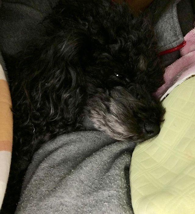 #愛犬 #トイプードル #腕枕 #甘えん坊  毎晩の事だけど…一昨日は1泊で静岡に行ってたのもあり特に甘えて来たニット🐩私が寝返りを打つたびに位置を変え腕枕で寝ます(≧∇≦) 親バカですが、可愛いくてたまらない💕
