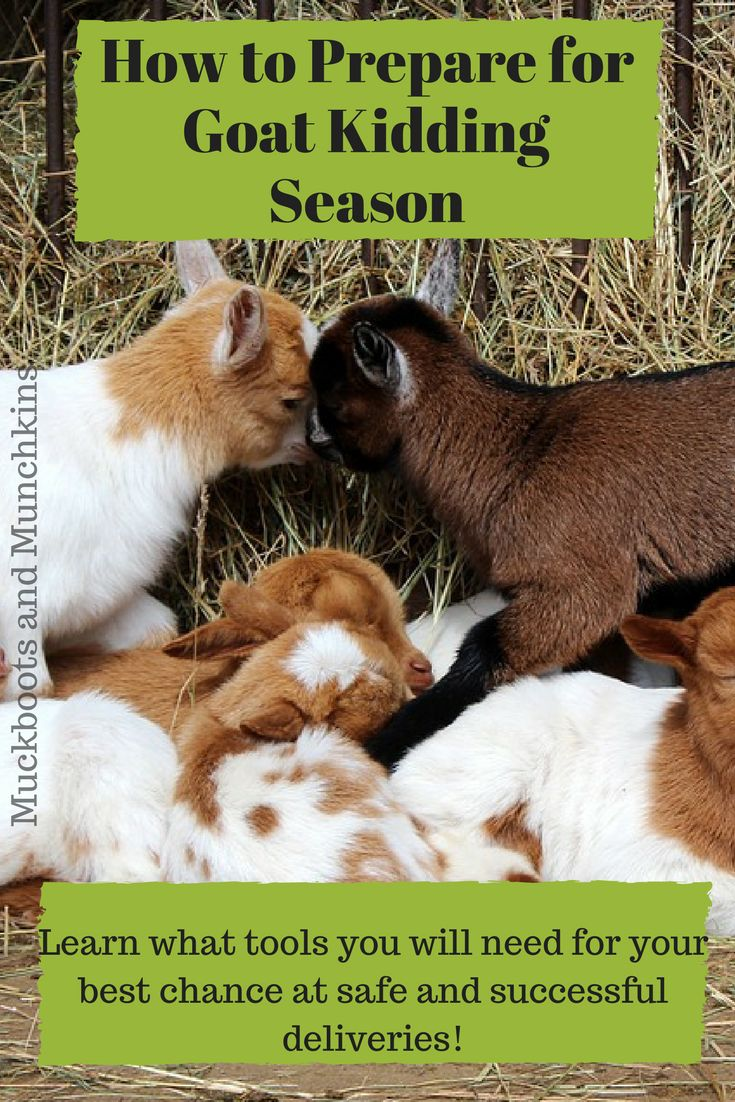 Kidding season can be a scary thing if you are new to goats. Learn the tools of the trade that are used by the experts! Although these items don't guarantee problem free deliveries, they are great to have on hand in case of an emergency, and to make kidding easier!