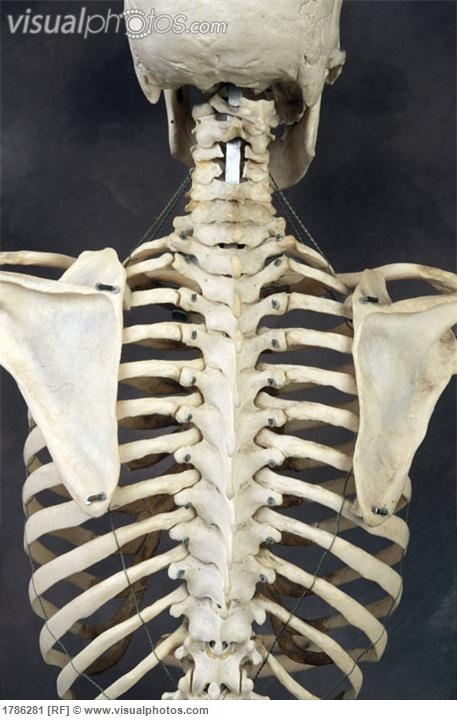 upper back of human skeleton | visual sources | pinterest | human, Skeleton