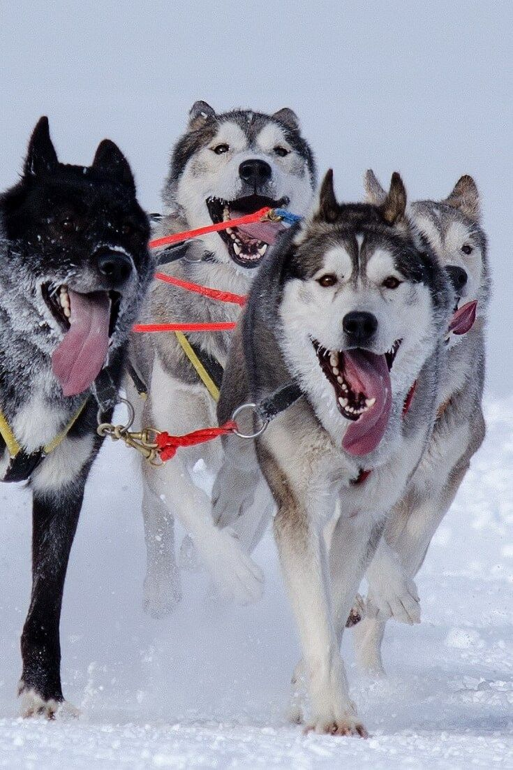 Siberian Husky Is It A Dog For Me Temperament And Facts
