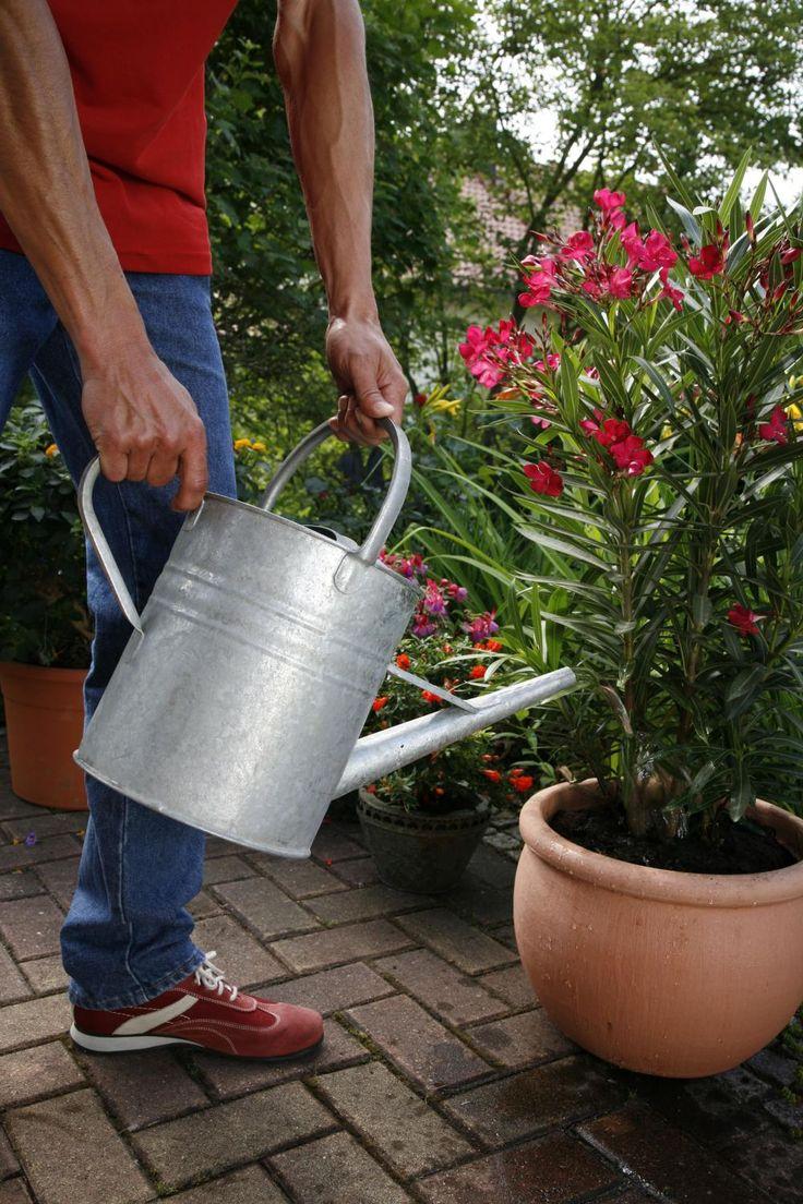 die besten 25 oleander pflege ideen auf pinterest oleander vermehren oleander schneiden und. Black Bedroom Furniture Sets. Home Design Ideas