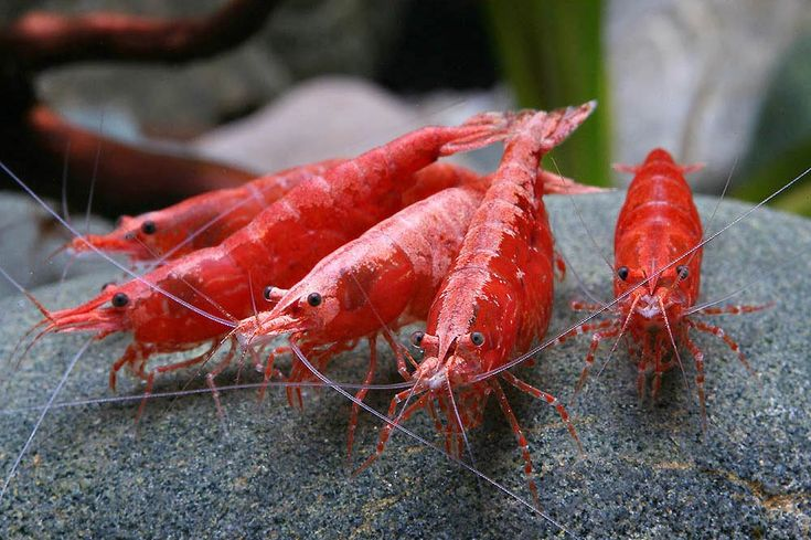 Cherry Red Shrimps by Crystal Red Shrimp Breeding Guide