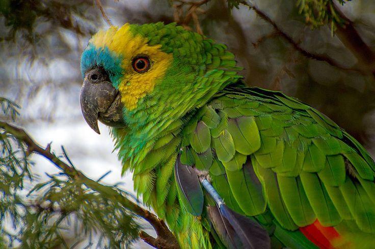 Como o papagaio aprende a falar?