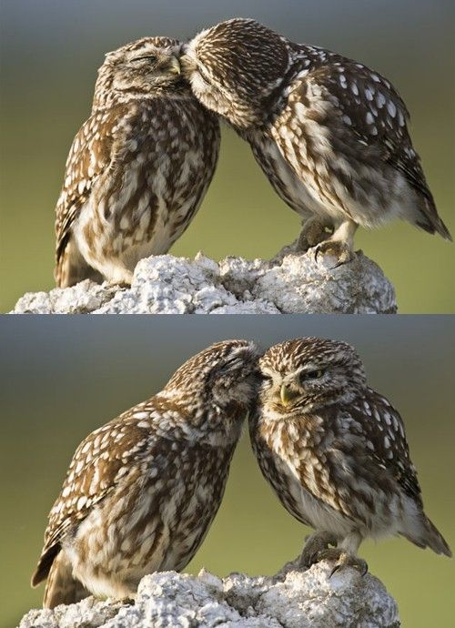 owls: A Kiss, Cute Animal, Owl Kiss, Awkward Moments, Little Owl, True Love, Valentines Day, Birds, Sweet Nothings