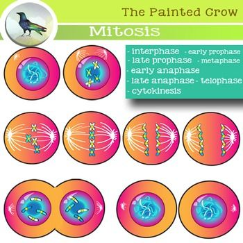cell cycle mitosis and meiosis study guide