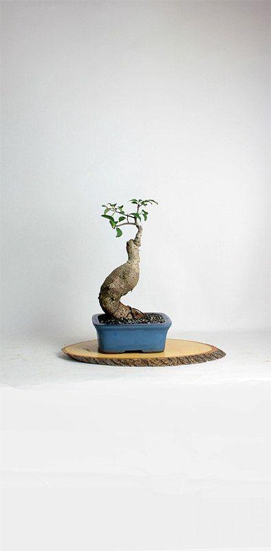 "Ficus Ginseng Bonsai Tree ""Winter Ficus Collection"" by LiveBonsaiTree by LiveBonsaiTree on Etsy"