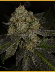 Archive Seed Bank (GreenHouse)       Crippy Killer  Face Off OG #4 X Dosidos