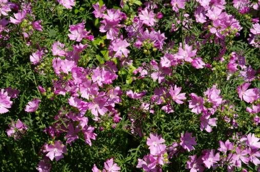 malva, si mangiano le foglie cotte aggiunte insieme ad altre erbe in zuppe oppure i fiori e le foglie giovani crude in insalata