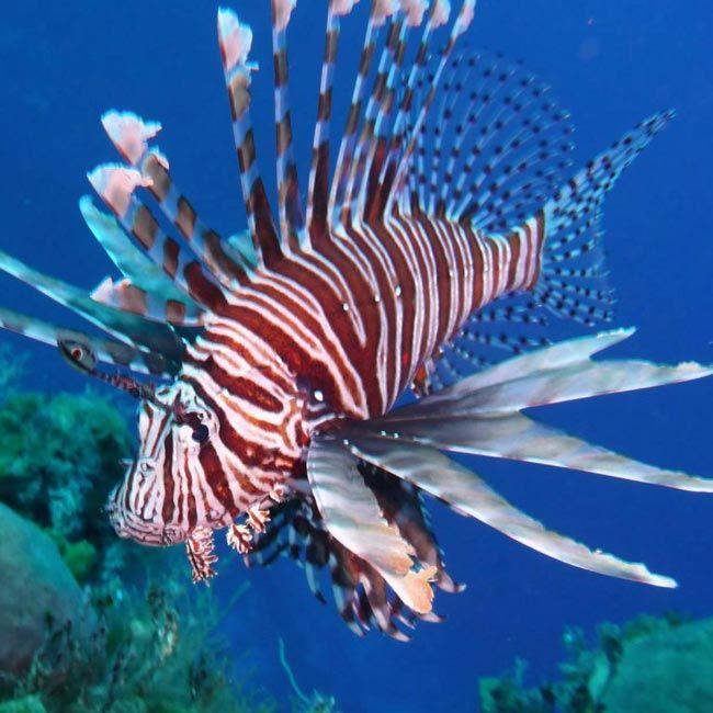 Volitan Lionfish Underwater Worlds Lion Fish Underwater World Underwater
