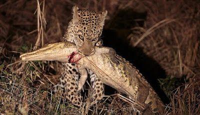 KISAH MENARIK HATI: Kisah Macan Tutul dan Buaya
