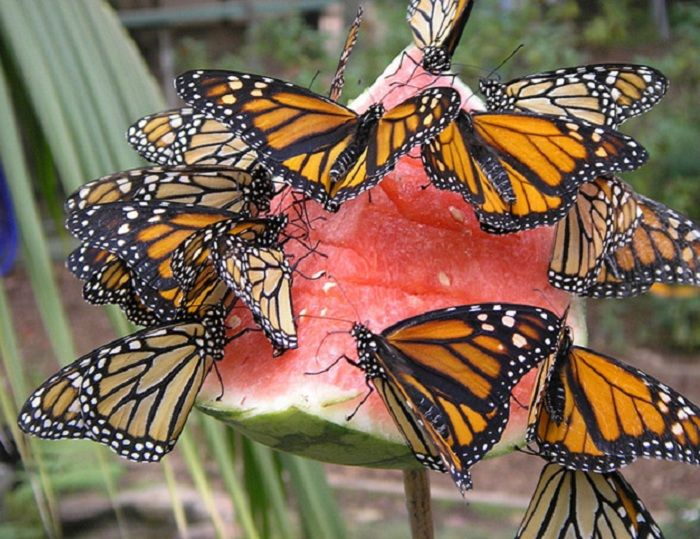 butterfly feeder-Monarchs only eat milkweed in the larvae stage, but a fruit plate will keep the adults fed.
