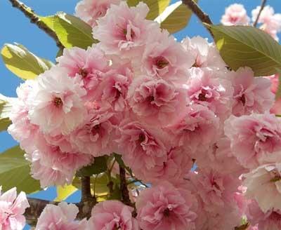30 best trees to please images on pinterest flowering trees flowering cherry kwanzan on serrula trees plant library mightylinksfo