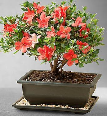 Satsuki Azalea Bonsai- The Satsuki Azalea delivers dependable late Spring blooming $34.99