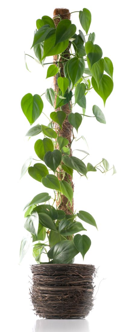 When they are young, climbing plants don't really show off their beauty but once mature, they can make lovely additions to the home. Read more about them in this article.