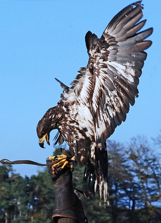 immature bald eagle  -- affectionately called a 'juvie'.