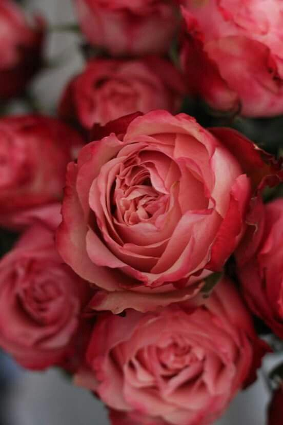 King Arthur Garden Rose