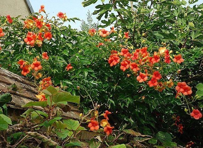 25 best ideas about plante grimpante persistant on for Vigne vierge grimpante feuillage persistant