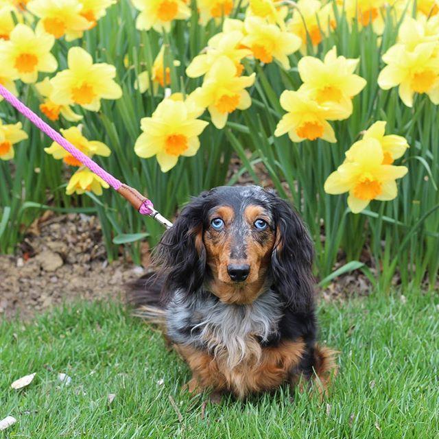 Dachshund And Daffodils Dachshunds Daffodils Springtime