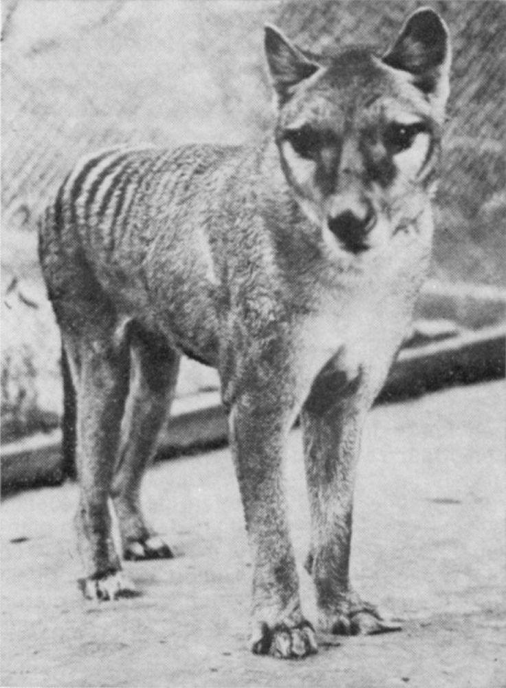 thylacine, Tasmanian Tiger - extinct