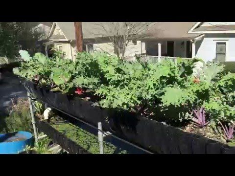 (28) Bioponics & nutricycling. Success growing kale w DIY organic liquid fertilizer - YouTube