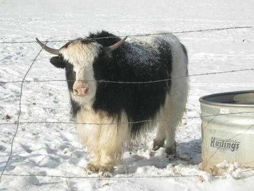 Cow pony swinger tucson