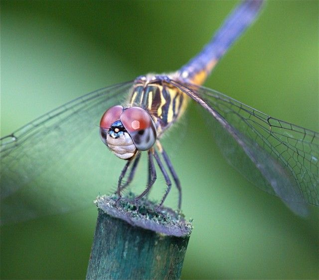 Dragonfly Anisoptera AMAZING