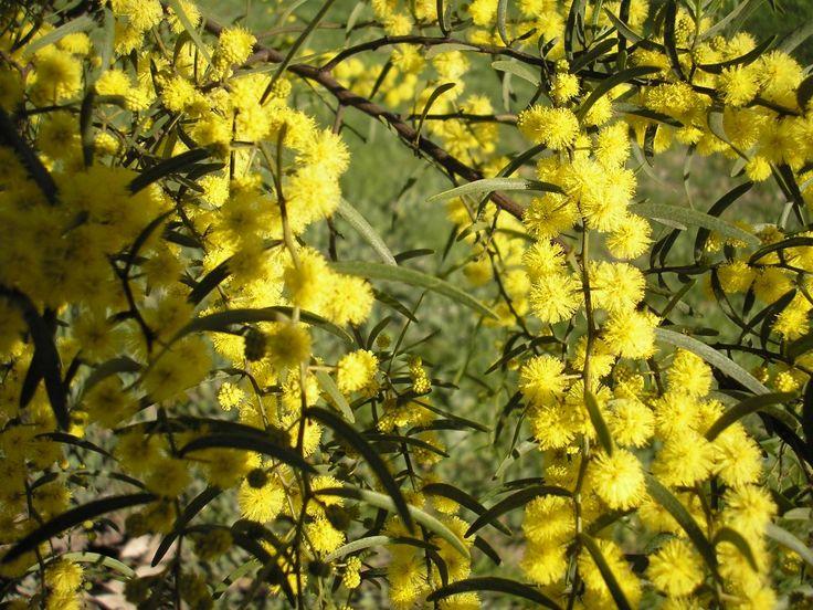Acacia Spicy --- For more Australian native plants visit austraflora.com