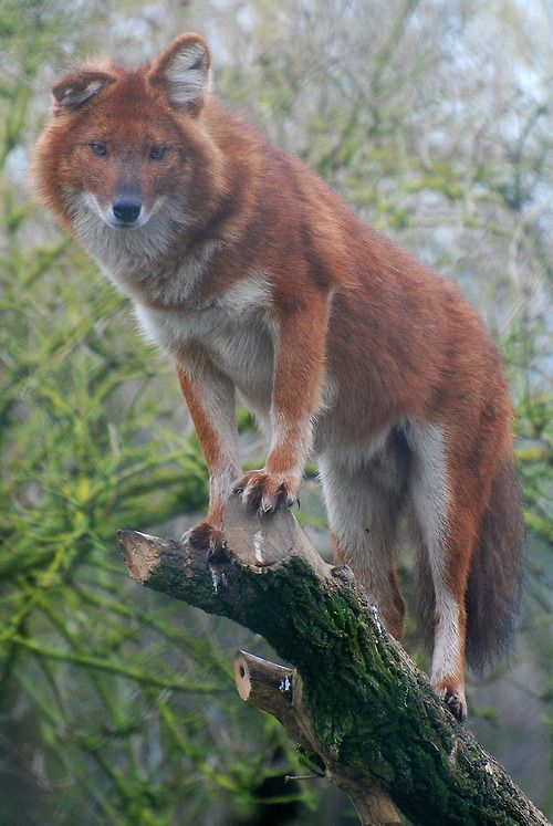A beautiful dhole (Cuon alpinus), an endangered species of wild dog from southern Asia.