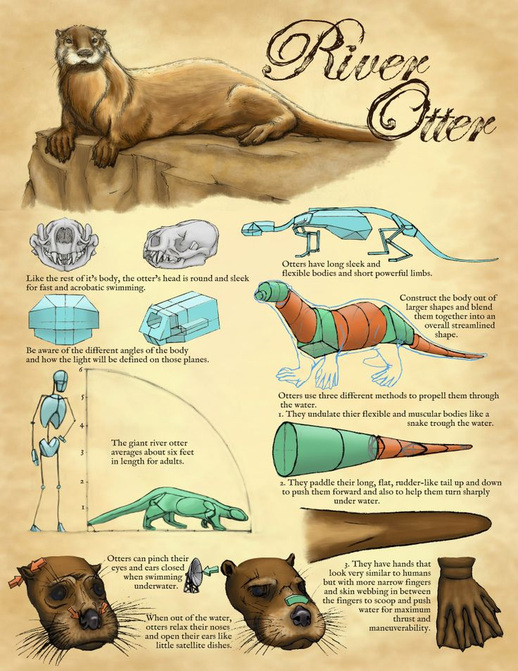Tips for drawing Otter