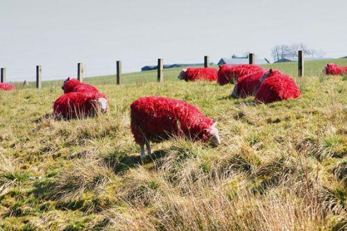 A vörös juhok valóban nem mindennapi látványt nyújtanak