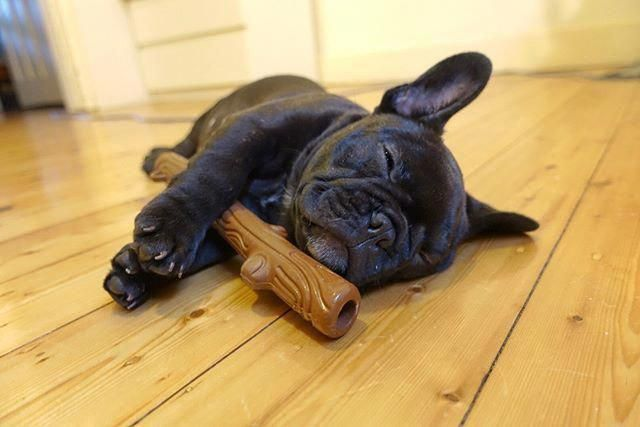 Sundays Are For Sleep Ins With My Stick French Bulldog Puppy