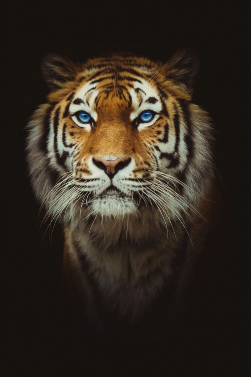 Eye of the Tiger | Photographer | CV