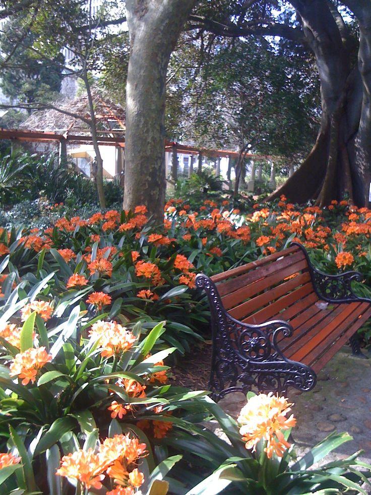 Clivias in Company Gardens Cape Town