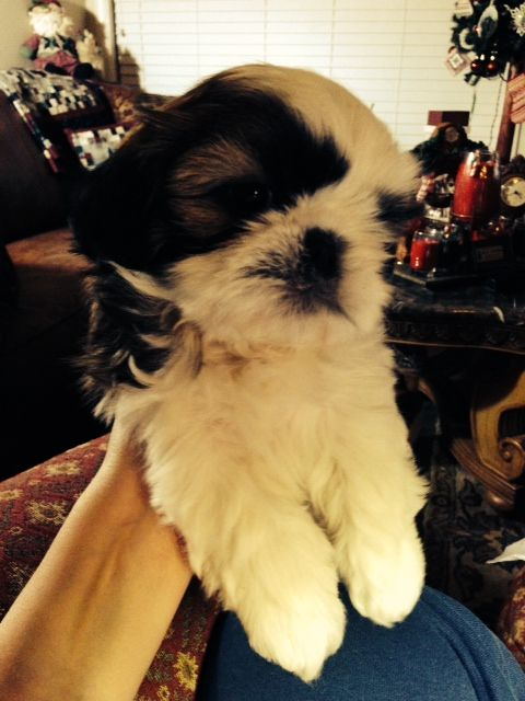 Shih Tzu puppies for sale Shih Tzu for sale