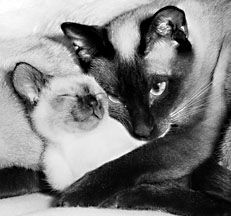 Seal Point Siamese cat with her kitten in her arms, Photo © Animal Photography, Sally Anne Thompson