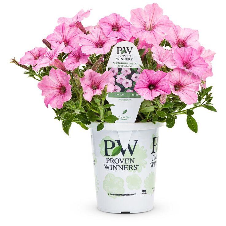 Proven Winners Supertunia Vista Bubblegum (Petunia) Live Plant, Bubblegum Pink Flowers, 4.25 in. Grande-SUPPRW4007520 - The Home Depot