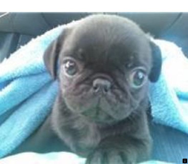 Puggle Puppies For
