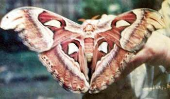 kupu-kupu gajah yang unik dan langka.