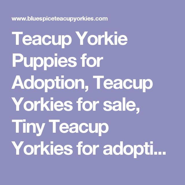 Teacup Yorkie Puppies for Adoption, Teacup Yorkies for sale, Tiny Teacup Yorkies for adoption