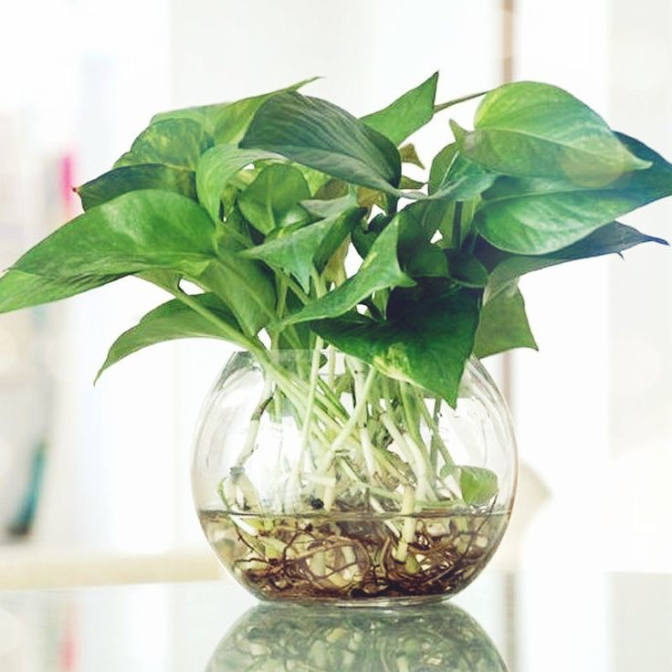 Indoor Plants Grown In Water: 329 Best Images About Plant Indoor On Pinterest