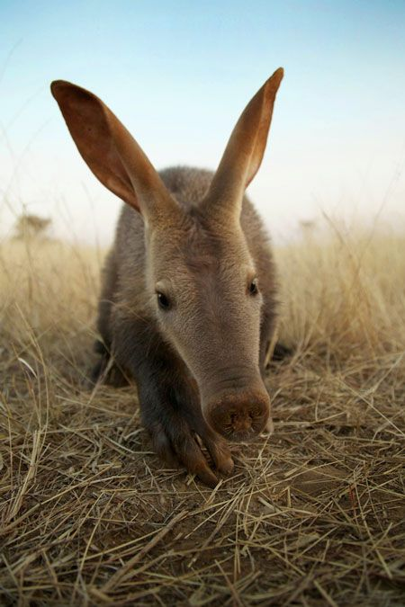 the theme is now the ...... 'AARDVARK' ... please keep to the theme.. all other non-related pins will b deleted... thanx for being part of this board... a.l.s