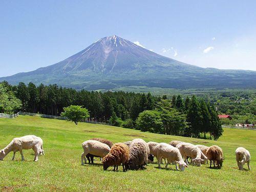 富士山が綺麗な絶景で、牛の乳しぼり体験などができる家族連れにおススメのスポットです。