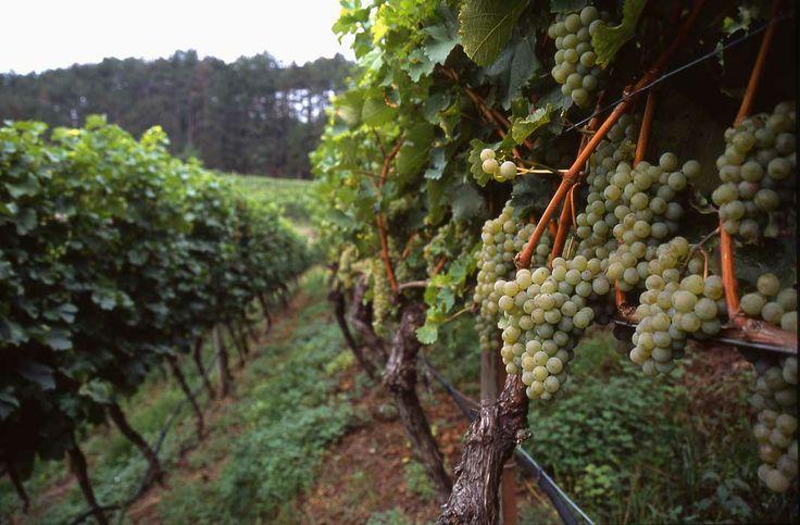 Le vigne dal quale si ricavano i vini spumanti Cesarini Sforza
