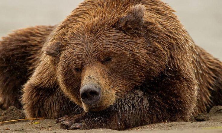 Что происходит с медведем во время зимней спячки? – Якутия. Образ будущего
